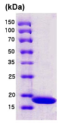 SDS-PAGE - Streptavidin protein (His tag) (ab78833)