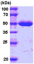 SDS-PAGE - MAT2A protein (His tag) (ab78878)