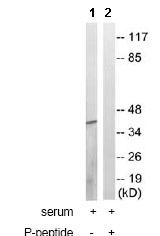Western blot - TOB (phospho S164) antibody (ab78915)
