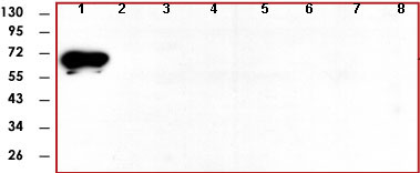 Western blot - CaMKI antibody [5H8] (ab78917)