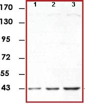 Western blot - ERK1 antibody [E19] (ab78918)