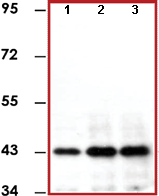 Immunoprecipitation - ERK1 antibody [E19] (ab78918)
