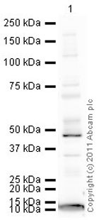 Western blot - Anti-ADFP antibody (ab78920)