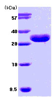 SDS-PAGE - ISG15 protein (Tagged) (ab78929)