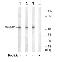 Western blot - Smad2 antibody (ab78968)