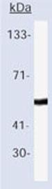 Western blot - p53 antibody [DO-7] (Biotin) (ab79087)