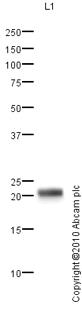 Western blot - Urocortin 3 antibody (ab79121)