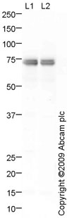 Western blot - Anti-Bile salt-activated lipase antibody (ab79131)