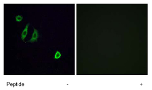 Immunocytochemistry/ Immunofluorescence - OR4F6 antibody (ab79154)
