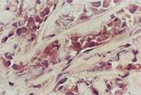 Immunohistochemistry (Frozen sections) - PTEN antibody [A2b1] (ab79156)