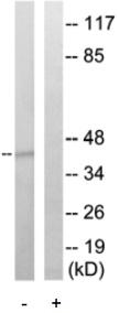 Western blot - CREB antibody (ab79174)