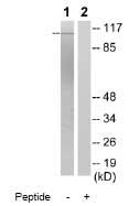 Western blot - GEF H1 antibody (ab79175)