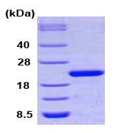 SDS-PAGE - Cyclophilin F protein (Human) (ab79186)