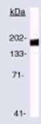 Western blot - ErbB 2 antibody [3B5] (Biotin) (ab79205)