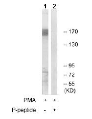 Western blot - MUC1 (phospho Y1229) antibody (ab79226)
