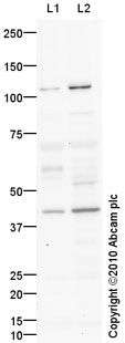 Western blot - LUC7L2 antibody (ab79232)