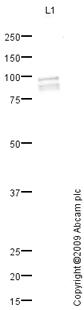 Western blot - RFX2 antibody (ab79241)