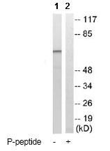 Western blot - Tau (phospho T534 + T217) antibody (ab79288)