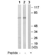 Western blot - Anti-TAB3 antibody (ab79289)