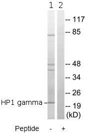 Western blot - HP1 gamma antibody (ab79304)