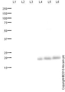 Western blot - MED11 antibody (ab79321)