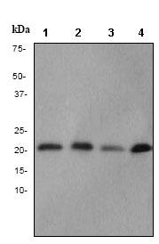 Western blot - Cytochrome C oxidase subunit II antibody [EPR3314] (ab79393)