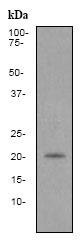 Western blot - Anti-Caveolin-2 [EPR2220] antibody (ab79397)