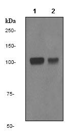Western blot - INPP4A antibody [EPR3426] (ab79403)