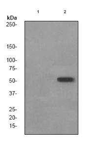Western blot - Anti-Tau (phospho S422) antibody [EPR2866] (ab79415)