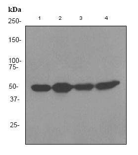 Western blot - RbAp48 antibody [EPR3411] (ab79416)