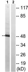 Western blot - CtBP1 antibody (ab79417)