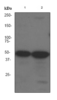 Western blot - ZIP Kinase antibody [EPR1635] (ab79422)