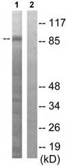 Western blot - GAB2 antibody (ab79426)