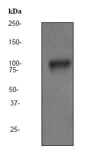 Western blot - Anti-PSMA antibody [EP3254] (ab79542)
