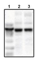 Western blot - Mark3 antibody (ab79577)