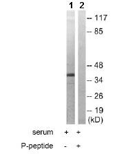 Western blot - MEK3 (phospho T222) antibody (ab79586)