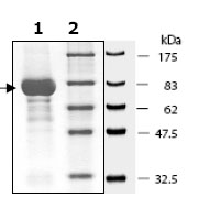SDS-PAGE - Lck protein (Active) (ab79626)