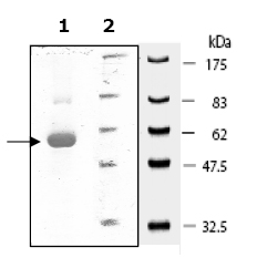 SDS-PAGE - Src protein (Active) (ab79635)
