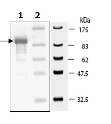 SDS-PAGE - DPP3 protein (Active) (ab79652)