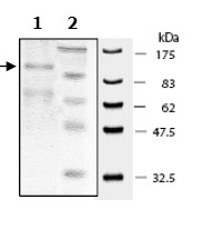 SDS-PAGE - PDE3B protein (Active) (ab79658)