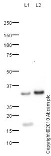 Western blot - CLEC9A antibody (ab79661)