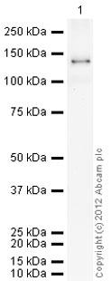 Western blot - DPP8 protein (Active) (ab79662)