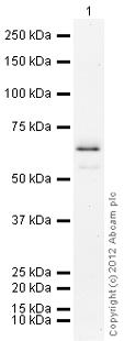 Western blot - PARP11 protein (Active) (ab79742)