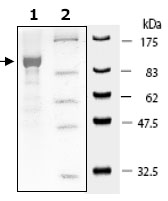 SDS-PAGE - PDE10A protein (Active) (ab79743)