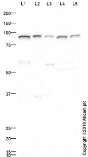 Western blot - TYRO3 antibody (ab79778)