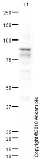 Western blot - NUP88 antibody (ab79785)