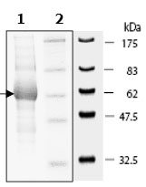 SDS-PAGE - AKT1 protein (Active) (ab79792)