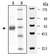 SDS-PAGE - AKT3 protein (Active) (ab79799)