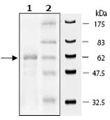 SDS-PAGE - PDE7B  protein (Active) (ab79800)