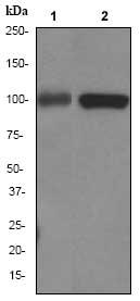 Western blot - CD10 antibody [EP2998] (ab79825)